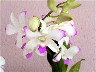 Orchid6