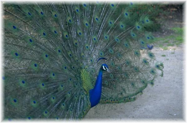 peacockstrut