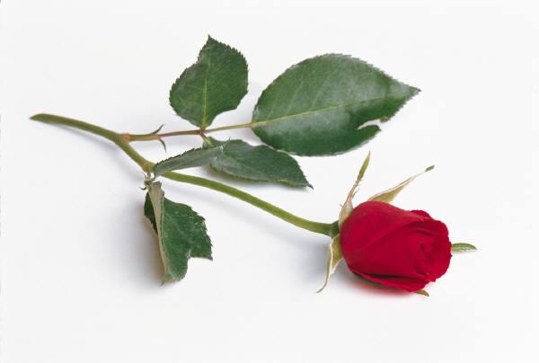 singlerose